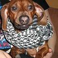 Czy nasz Rico jest zadowolony?Oceńcie sami! #pies #jamnik #miny #śmieszne