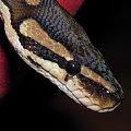 #gady #węże #zwierzęta