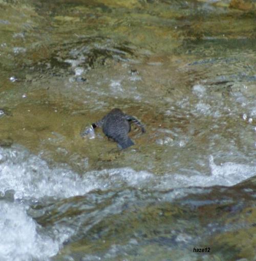 pływający ptak.pluszcz