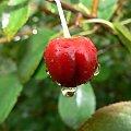 łap kropelkę #owoc #wiśnia