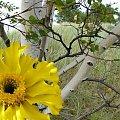 początek jesieni na wydmach ale odrobiną wspomnienia lata #przeróbki #inaczej #brzozy #NaWydmach #kwiat #widok