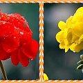 Pelargonia po deszczu....czasami tak każdego korci by coś pozmieniac! #inaczej #przeróbki #kolory #pelargonie #deszcz #kwiaty