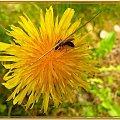 ...a dla mnie miodzio.... #roślinki #pszczoła #mlecz #MniszekLekarski