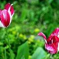weekend na łące... #tulipan #tulipany #róż #różowy #zielony #liście #biały #biel #ogród #ogródek #wiosna