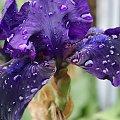 Czerwcowy deszczyk #deszcz #kwiaty #róże