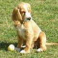 fado wrzesień 2008 #zabawa #piesek #spaniel #psy #szczeniak
