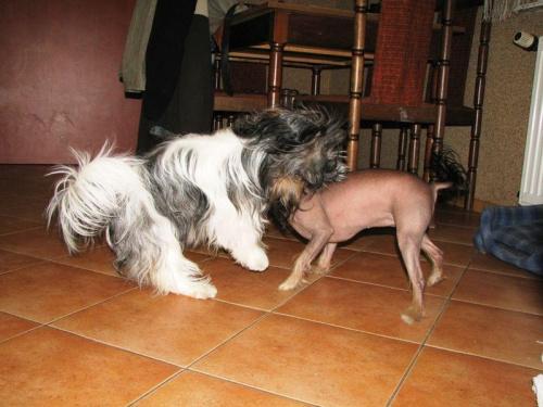 Shih Tzu i Chiński Grzywacz #Psy #ShihTzu #ChińskiGrzywacz #zabawa #zwierzęta #szczeniaczki