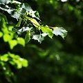 #przyroda #zieleń #osika #liście