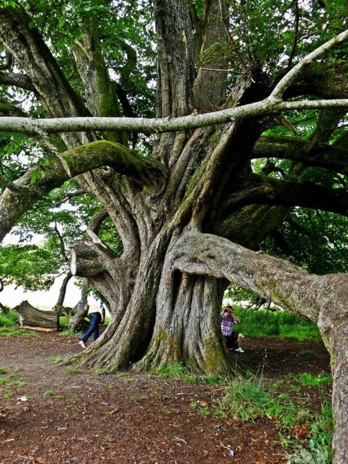 bardza stary kasztanowiec Park Boyle Irlandia
